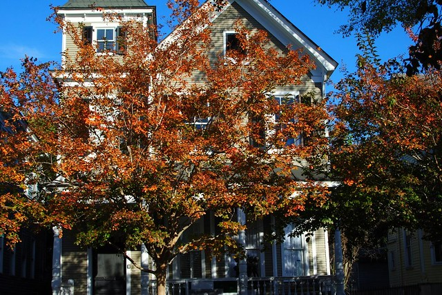 gorgeous fiery tree, one of the few in charleston