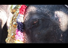 The Big eye of the big elephant (Trilok Rangan) Tags: light elephant festival temple panchavadyam melam mahout chenda vilakku pazhayannur bhagavathy thidambu niramala panchari