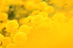 Yellow (samyaoo) Tags: flower taiwan      miouli