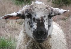 Sheep 201: Breed Selection
