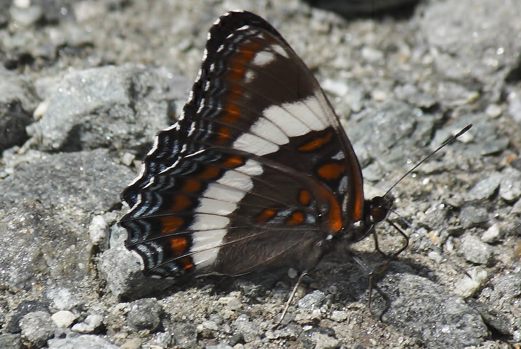 White admiral butterfly (11)