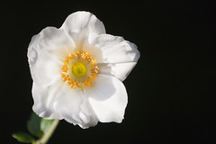 White Anemone flower (Hadi Photography) Tags: life flowers plants sun white black flower art nature canon photography shine bright earth arts anemone   safa hadi  40d        canon40d kadhim safakadhim hadiphotographyart hadiphotographyarts hadiphotographyandart    safaphotography safaphotographyandart safaphotographyart safaphotographyarts