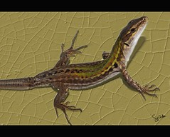 Lizard model posing (King Midas Touch*) Tags: macro nature landscape photography natura lizard viaggi hdr lucertola anawesomeshot googleimmagini luigicostanzo lucasignorini