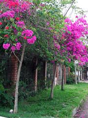 Bougainvilleas (Rodrigo Neves) Tags: flower petals colorful fuji s5100 bougainvillea finepix polarizer cpl greika