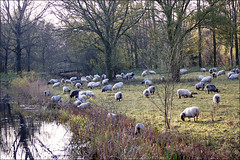 Flock of sheep in late autumn (Foto Martien (thanks for over 2.000.000 views)) Tags: park november autumn holland fall wool netherlands dutch sheep shepherd arnhem herbst herfst nederland lamb herd sheeps lam schapen wol gelderland schaap herder betuwe najaar flockofsheep schaapskudde immerloopark arnhemzuid a550 immerloo immerlooplas martienuiterweerd carlzeisssony1680 martienarnhem sonyalpha550 fotomartien
