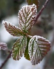 Frosty Bramble Leaves (Theresa Elvin) Tags: winter snow macro ice leaves frost bramble doncaster southyorkshire hatfieldmoor