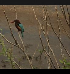 Kingfisher at Hesaraghatta Lake (vaibhavkumar) Tags: bird free kingfisher use hesaraghattalake canon1000d