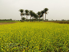 Village of BANGLADESH (Asif Adnan Shajal) Tags: travel green nature field yellow landscape photography village mustard gram bangladesh mustardflower explored chuadanga villagehome villageofbangladesh framebangladesh asifadnanshajal chuadangabangladesh