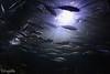Viaje por el fondo del mar (Urugallu) Tags: españa valencia fauna canon mar spain flickr peces acuario comunidadvalenciana comunitatvalencia 50d faunamarina urugallu