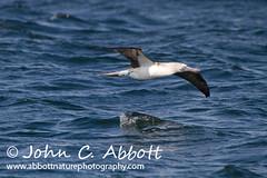20100825_0189 (Abbott Nature Photography) Tags: southamerica nationalpark behavior vertebrates birdsaves flyingflight pelicansboobycormorantspelecaniformes boobiessulidae