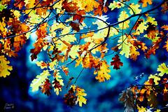 Oak leaves - Yosemite (Dmitri007) Tags: california autumn fallleaves leaves oak fallcolors yosemite yosemiteoak