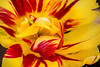 Tulip with Color 3-0 F LR 4-22-17 J530 (sunspotimages) Tags: tulips tulip multicolored red redflower redflowers redtulip redtulips yellow yellowflower yellowflowers yellowtulip yellowtulips multicoloredflower multicoloredflowers multicoloredtulip multicoloredtulips nature