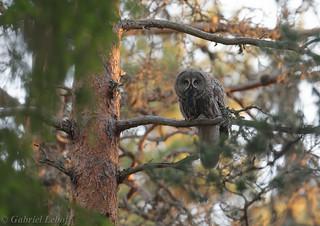 Chouette lapone Great Grey Owl  2325_DxO.jpg