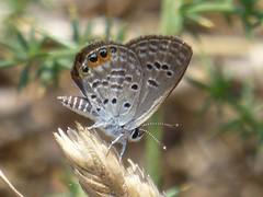 Chilades trochylus (Grass Jewel, underside) (TPittaway) Tags: chiladestrochylus grassjewel greece june2017 lycaenidae butterflies lepidoptera tonypittaway delphi thessaly