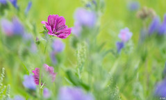 Flower in Flower Field (Martine Lambrechts) Tags: flower field nature