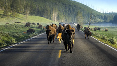 Rush Hour (Above and Below the Waterline) Tags: bison rushhour road yellowstone haydenvalley commute