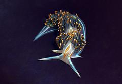 Opalescent Sea Slug on Purple Kelp (matt knoth) Tags: nudibranch seaslug tidepooling tidepools seacreature macro pillarpoint halfmoonbay hermissenda opalescens water outdoor underwater mollusk california purple background