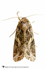 Yellow-striped Armyworm Moth - Hodges#9669 (Spodoptera ornithogalli) 20170624_3702.jpg (Abbott Nature Photography) Tags: animals arthropodaarthropods endopterygota hexapoda insectainsects invertebratainvertebrates lepidopterabutterfliesmoths neoptera noctuidaeowletmothsmillermoths noctuoidea organismseukaryotes photography pterygota technique moth whiteseamlessbackground gordo alabama unitedstates us