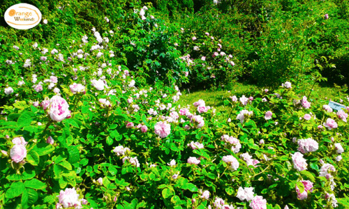 Satriecošais Peltsamā rožu dārzs, Igaunija