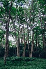 hidden harmonies (Super G) Tags: sony005 wailuku hawaii jungle trees plants dense maui iaovalley