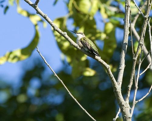 HummingbirdEmiquonClarkRd07252010JGWard_MG_6604