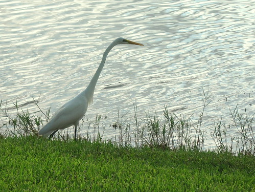 Great Egret 2-20100727