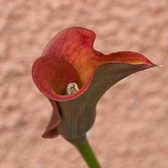 la cala roja de mestres (R.Duran) Tags: red españa flower spain nikon espanha europa europe flor asturias espagne cala roja d300 asturies infiesto mestres piloña ltytr1 nikon105mmf28gvrmacro
