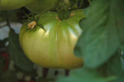 Cherokee Purple Tomato - First blush of red