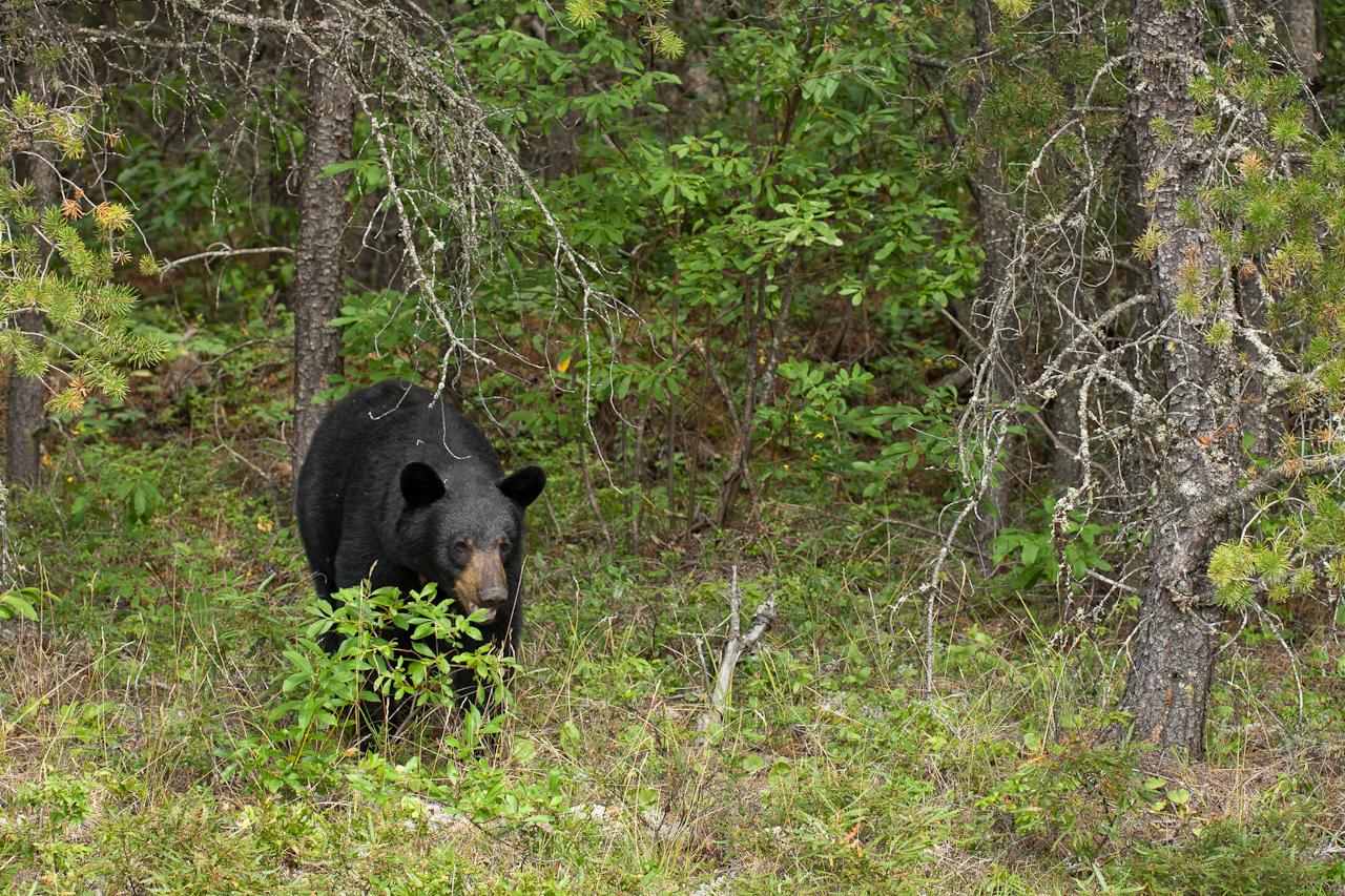 Black Bear #2, Northern Ontario, August 2010