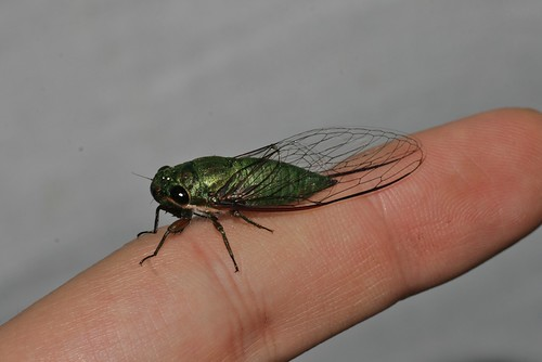 ? (Cicadidae)