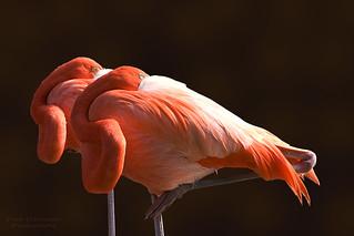 Flamingoes at The Flamingo in Las Vegas