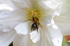 Clematis (Waterjuffer1) Tags: clematis tuin wit bij bloem lanuginosacandida waterjuffer1