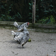 Made (*Twinkel*'s photostream) Tags: chicken animal kip dieren dier kuikens sebright about5weeksold seebrightchicken madebydaisysheismynieceshes8yearsold