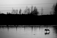 Bolt on the water (pas le matin) Tags: blackandwhite bw dog chien lake france reflection ice court frozen mood noiretblanc lac atmosphere running nb powerlines reflet nord glace frozenlake gel courir terril filslectriques lacgel rieulay terrildurieulay ligneslectriques