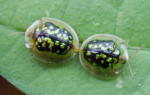 Tortoise beetles sex again......IMG_4887 copy
