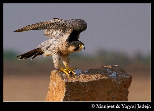 Peregrine Falcon (Falco peregrinus) stretching wings