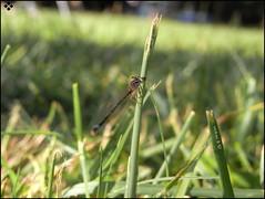 xx (Andreabentez ) Tags: naturaleza insectos verde green love andalucia lagos libelula rios cesped