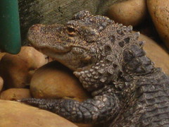 Yangtze Alligator (Close Up)
