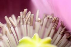 Corn poppy (bcmng) Tags: insect bee makro sylt insekt biene mohn klatschmohn animalmakro insectmakro