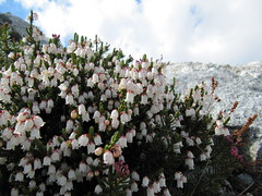 Cypress Peak descent.. White Mountain Heather.. (iwona_kellie) Tags: friends summer snow canada rock britishcolumbia anniversary rocky glacier celebration summit scramble cypresspeak roecreek squamishcheakamusdivide 2083meters returnafter4years