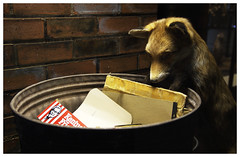 Fox (afrigole) Tags: museum dark manchester bin eat fox rubbish
