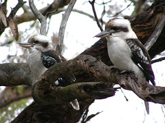 kookaburras sit in the old gum tree-ee, wondering what happened to their royaltee-ee