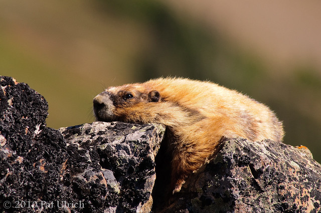 Chillin' marmot style
