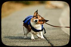 splash! (moaan) Tags: summer dog motion blur digital corgi bokeh kobe memory utata moment welshcorgi endlesssummer memoriesofsummer pochiko thelittledoglaughed ef300mmf28lisusm aftertheswimming gettyimagesjapanq1 gettyimagesjapanq2