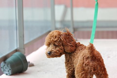 Flower pot? Floating green leash? I must be on someone's balcony. (Lansun) Tags: puppy asian miniature poodle stanford apricot toypoodle redpoodle