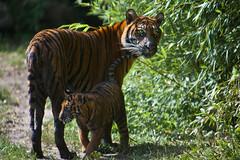 Blijdorp-5718 (Arie van Tilborg) Tags: zoo blijdorp gio hermes alia vanni sumatraansetijger arievantilborg tijgertjes tijgerwelp