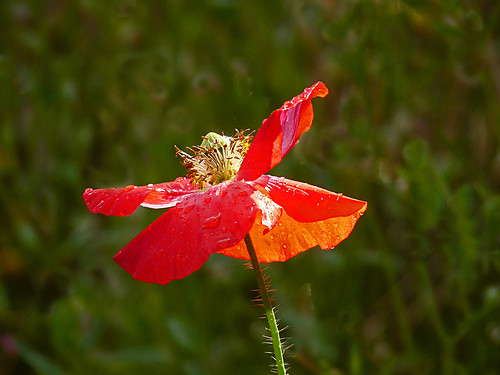 Poppy with Raindrops at Eden