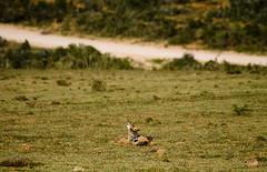 howling black backed jackal, addo elephant park, south africa (cquigley) Tags: africa nature southafrica addo jackal african wildlife august safari savannah za gardenroute easterncape 2010 savanna addoelephantpark blackbackedjackal nguni nguniriverlodge