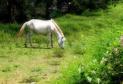 Kabayo (TON70) Tags: horse white green pasture kabayo