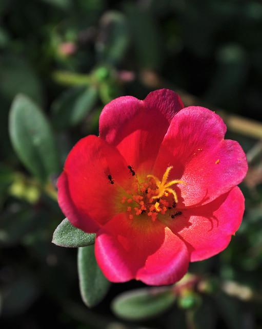 Portulaca oleracea 'Rio Scarlet'